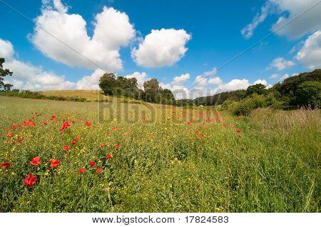 Delightful poppy field in summer with fluffy clouds in blue sky