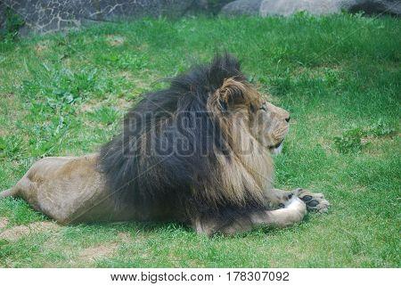 Lion resting on