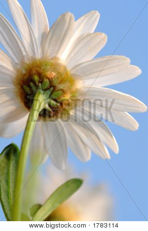 Daisy From Below
