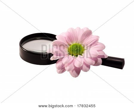 Chrysanthemum And Magnifier