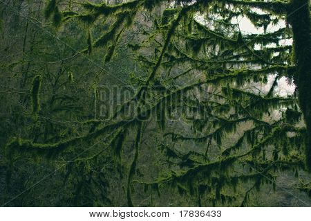 Branches Of The Trees In The Forest Covered With Moss