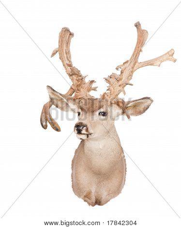 Raghorn Deer