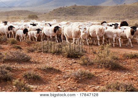 Flock Of Sheep Walking In Arid Country