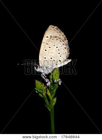 Exotic Mauritius butterfly