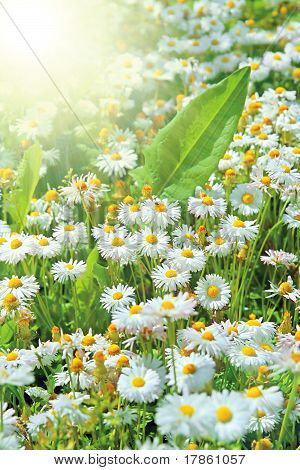 Field Of Perfect Daisies And Sun