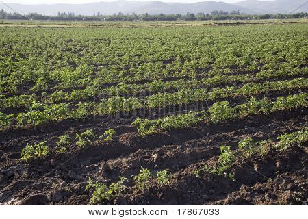 Rows of tomato plants in a crop in spring