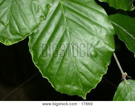 Beech Leaves 01