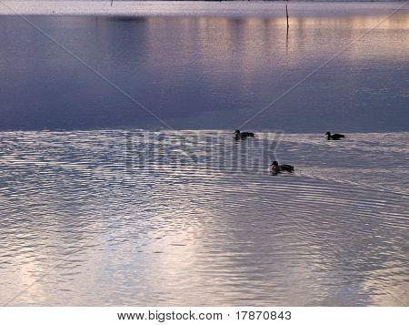 Mallard Ducks In A The Sunset