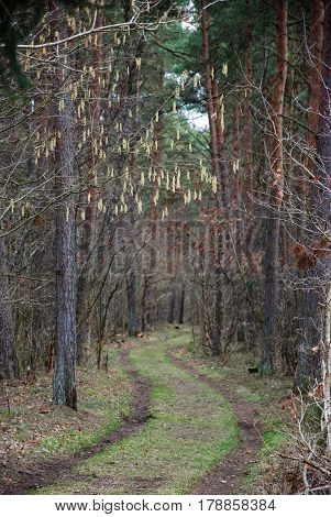 Hanging hazel catkins by a winding dirt road through a forest
