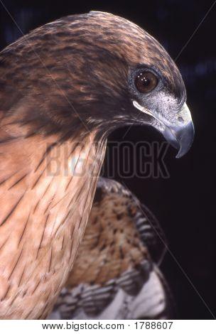Redtailedhawk