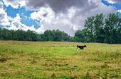 Black And White Cow Grazing On Meadow In Mountains. Cattle On A Mountain Pasture. Summer Sunny Day. poster