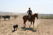 stock photo of bareback  - cowboy with cowdog working cattle on the ranch - JPG