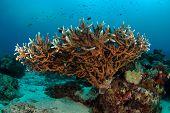 Staghorn coral (Acropora formosa) poster