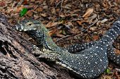 picture of goanna  - Lace Monitor  - JPG