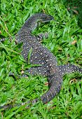foto of goanna  - Lace Monitor  - JPG