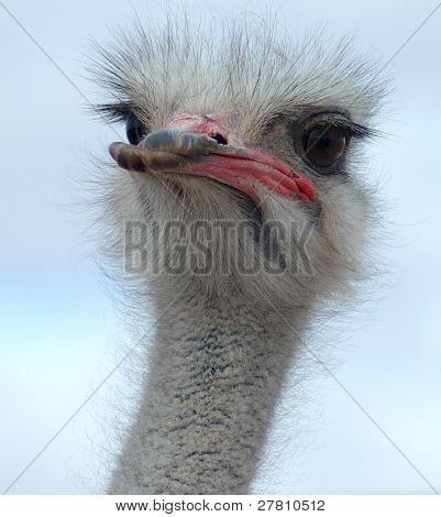 Retrato de hombre avestruz