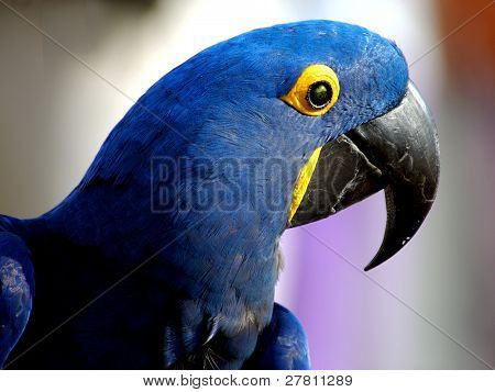 Beaytiful Indigo blue Parrot or Macaw