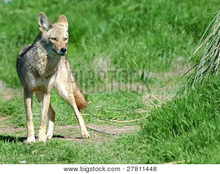 Desert Coyote photographed on a Las Vegas Nevada golf course, part of the Urban Wildlife Collection