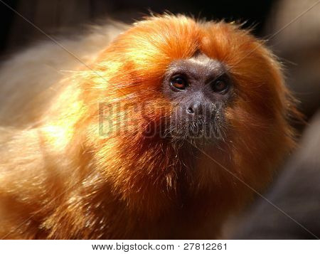 Beautiful little Golden Lion Tamarin an Endangered species. Today more of these little guys survive in zoos then in the Wild