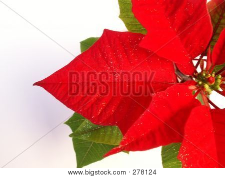 Christmas  Poinsettia 2