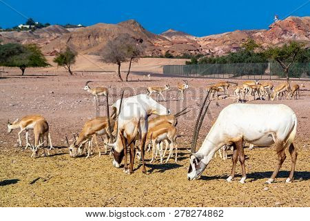 Antelope Group In A Safari