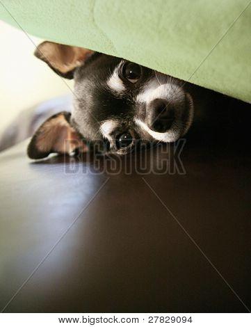 hiding chihuahua
