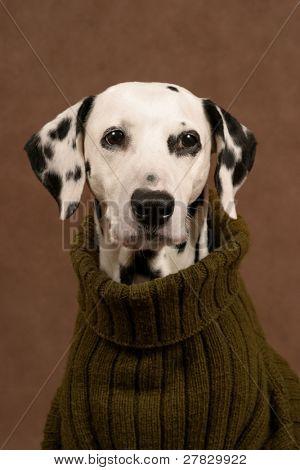 dalmatian in a pullover