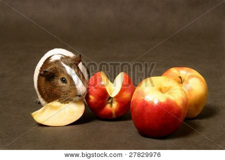 guinea pig with aplles