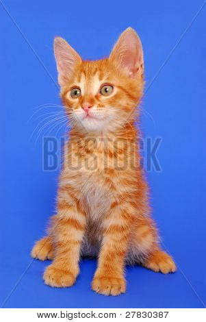 Kitten on a dark blue background
