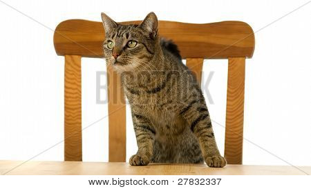 Tiger Cat Is Waiting At Table For Food