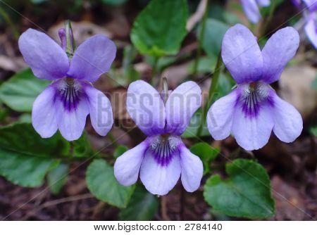 Violet Trio