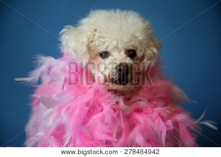 poster of OLD Dog Photo Shoot. Beautiful 14 Year Old Blind and Deaf Bichon - Poodle Dog with a Pink and White