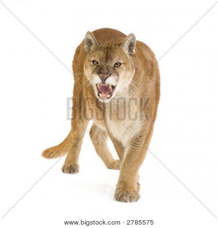 Puma (17 años) - Puma Concolor