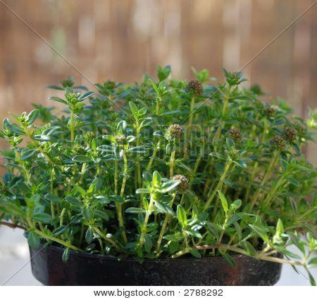 Santoreggia (Summer Savory) Plant In Pot