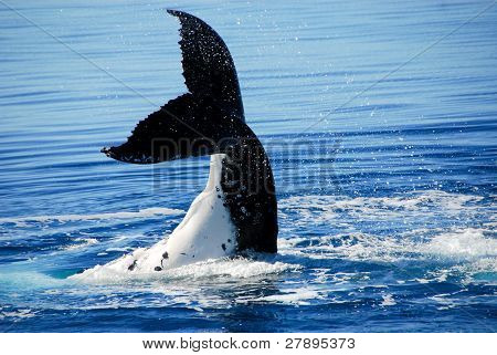 Humpback Whale in Hervey bay, Queensland, Australia
