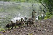 A Wild Mother Duck Waddles Alongside A Pond With A Clutch Of Fuzzy Ducklings Following Her poster