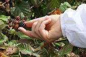 Hand Picking Wild Blackberries poster