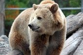 Large Grizzly Bear Walking Slowly Through His Enclosure At The Zoo, Staring At People Passing By His poster