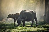 Buffalo In Field Countryside / Animal Mammal Grazing Cows Black Asian Buffalo Water In Thai poster