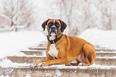 Brown Pedigreed Dog Lying On The Snowy Road. Boxer. Beautiful Hunter Dog poster