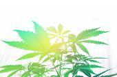 Marijuana Business. Cannabis Flower Indoor Growing. Grow In Grow Box Tent. Northern Light Strain. Pl poster