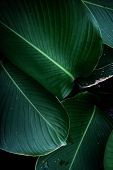 Natural Background Green From Nature Background Natural Branches. Green Leaf After The Rain Beautifu poster