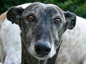 picture of seeing eye dog  - Beautifull brindle galgo  - JPG
