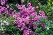 Blooming Rhododendron Pink Flowers In Spring Ornamental Garden poster