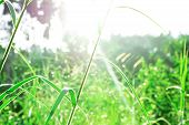 Grass Leaves With White Sun Light In The Morning, Flower Grass Beside Road, Green Leaves Of Grass In poster