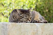 Close Up Portrait Of Sleeping Cute Brown Tabby Cat. Tabby Cat Lying Outdoor. Gray Street Striped Kit poster
