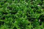 Hydroponics,organic Fresh Farme,organic Fresh Harvested Vegetables,farmers Looking Fresh Vegetables. poster