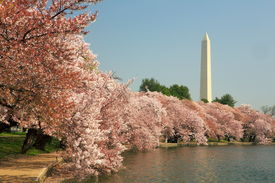 picture of cherry blossoms  - Cherry blossoms in full bloom at the Washington monument - JPG