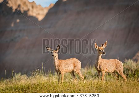 Pair Of Mule Deer (Odocileus hemionus) With Badlands Ridgeline