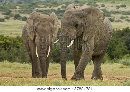 Two Elephants At A Water Hole